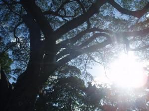 big tree in taiwan