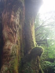 大和杉の横顔