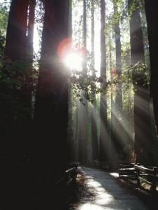 ミュアウッズの巨木の森